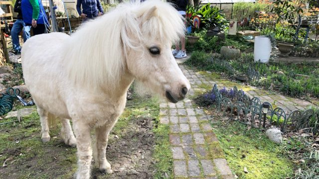 Potts's Miniature Horse, Willow, Headed West